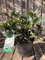 Rhododendron - Hybride 'Cunningham´s White'  Topfdurchmesser 19 cm reine Pflanzenhöhe ca. 26 cm