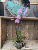 Phalaenopsis rosa 3-rispig Höhe ca. 60cm