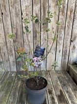 Viburnum burkwoodii 'Anne Russel' - Immergrüner Oster Schneeball h 60/80cm