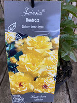 Beetrose 'Friesia'
