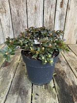 Rhododendron 'Impeditum Wren' Höhe ca. 15cm