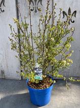 Blaubeere reine Pflanzenhöhe ca. 60cm 'Putte'
