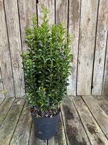Euonymus japonicus 'Green Spire' Höhe 40/50cm