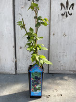 Brombeere 'Triple Crown' Reine Pflanzenhöhe ca. 40-50cm