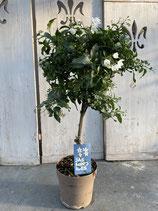 Solanum jasminoides Hochstamm klein