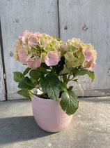 Hortensie rosa/ Topf rosa