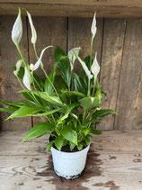 Spathiphyllum Höhe ca. 40cm