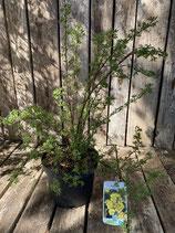 Potentilla -fruticosa gelb reine Pflanzenhöhe ca. 50 cm Topfdurchmesser 19 cm