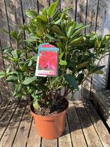 Rhododendron 'Lord Roberts' Pink Topfdurchmesser 29 cm reine Pflanzenhöhe ca. 55 cm