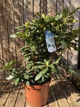 Rhododendron 'Cunningham´s White' Topfdurchmesser 29 cm reine Pflanzenhöhe ca. 55 cm
