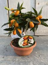 Kumquat Schale 20cm Durchmesser Höhe ca. 35cm