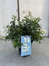 Solanum jasminoides Topf 10,5cm