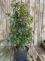 Prunus lusitanica 'Angustifolia' - Portugiesischer Kirschlorbeer h 60/80cm