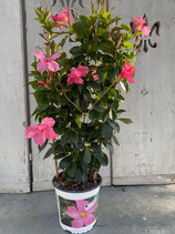 Dipladenie / Mandevilla Spalier 17cm Topf  Höhe ca. 75cm pink