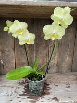 Phalaenopsis gelb Höhe ca. 40cm