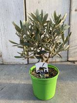 Olivenbaum Hochstamm grün Höhe ca. 40cm