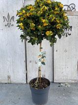Lantana camara Hochstamm Topf 20cm gelb