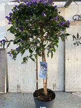 Solanum rant. Hochstamm