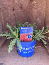 Achillea x millefolium 'Paprika' - Schafgarbe