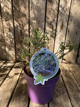 Buddleja Alternifolia - Unique reine Pflanzenhöhe ca. 25 cm Topfdurchmesser 19 cm