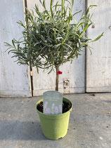 Lavendel Hochstamm Topfdurchmesser 14cm Höhe ca. 45cm