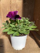 Surfinie violett