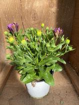 Kapkörbchen lila