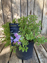 Spiraea Japonica 'Little Princess' reine Pflanzenhöhe ca. 10 - 20 cm