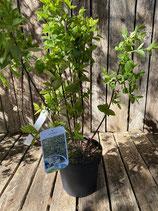 Lonicera 'Purpus-Heckenkirsche' reine Pflanzenhöhe ca. 65 cm