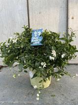 Solanum jasminoides Busch