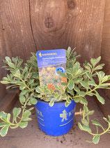 Sedum kamtschaticum 'Variegatum' - Kamtschatka-Fetthenne