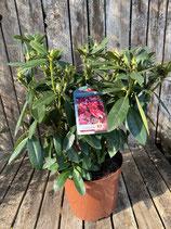 Rhododendron Pont. 'Polarnacht' Topfdurchmesser 29 cm reine Pflanzenhöhe ca. 45 cm