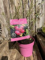 Pink Berry - The Pink Blueberry reine Pflanzenhöhe ca. 45cm
