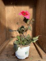 Pflanze des Jahres 2020 Bienenpflanze Rockin' Rosi Dahlie
