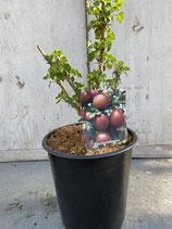 Rote Stachelbeere reine Pflanzenhöhe ca. 20-30cm