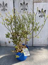 Blaubeere reine Pflanzenhöhe ca. 60cm 'Brigitta'