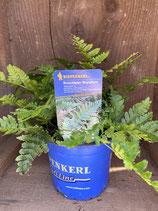 Dryopteris erythrosora 'Autumn' - Rotschleier-Wurmfarn