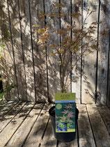 Acer palmatum 'Orange Dream' Höhe ca. 70 cm