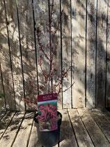 Acer palmatum 'Shaina' Höhe ca. 70 cm