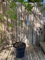 Duftflieder 'Alice Harding' reine Pflanzenhöhe ca. 100 cm