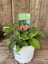 Wald-Erdbeere 'Tubby Red'