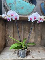 Phalaenopsis weiss pink Höhe ca. 40cm