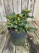 Rhododendron 'Scarlet Wonder' Höhe ca. 15cm