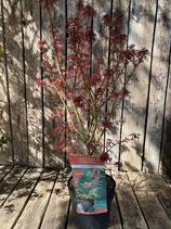 Acer palmatum 'Jerre Schwartz' Höhe ca. 70 cm