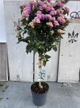 Lantana camara Hochstamm Topf 20cm rosa