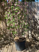 Ribes rosa reine Pflanzenhöhe ca. 120 cm