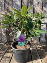 Rhododendron - 'Catawbiense Grandiflorum'  Topfdurchmesser 19 cm reine Pflanzenhöhe ca. 35 cm