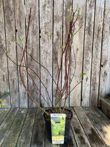 Cornus alba sibirica h 60/80cm
