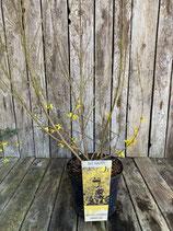 Forsythia x intermedia Lynwood Gold h 60/80cm