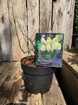 Hydrangea paniculata 'Limelight' reine Pflanzenhöhe ca. 20-30cm